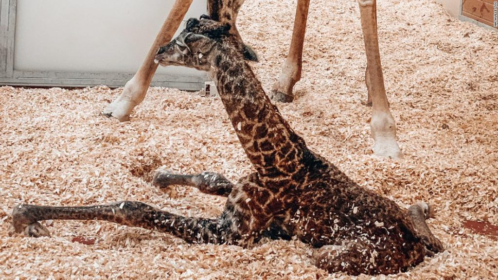 A baby giraffe dies at the Nashville Zoo after its mother runs on it