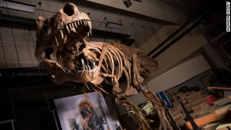 Meet & # 39;  Scotty, & # 39;  The largest tyrannosaurus ever discovered